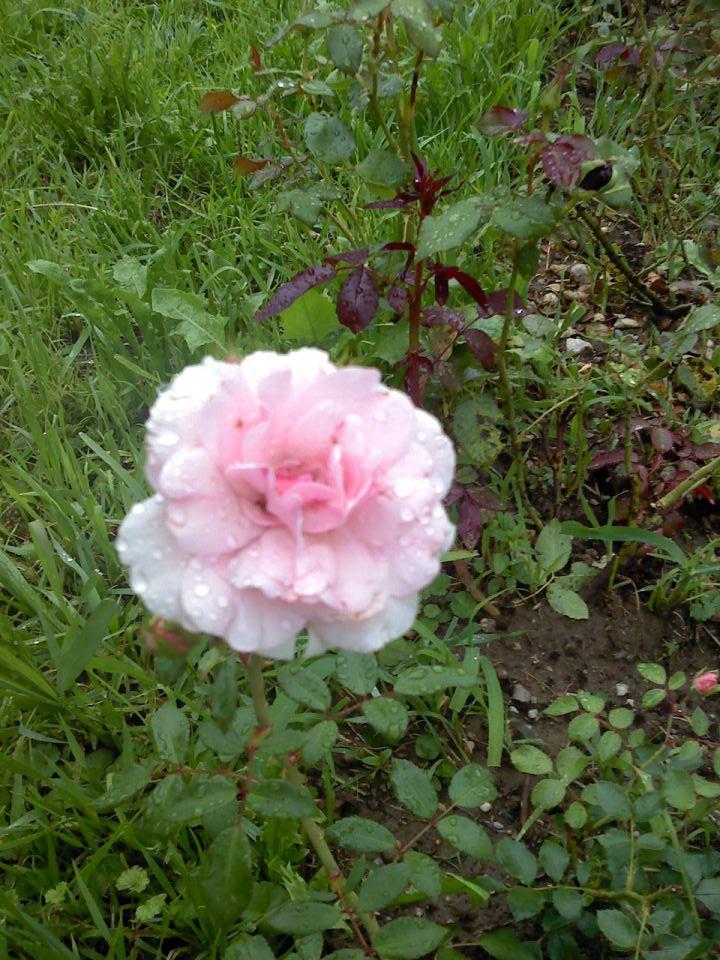 Vrtnice - foto povečava