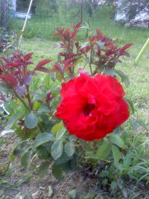 Vrtnice - foto