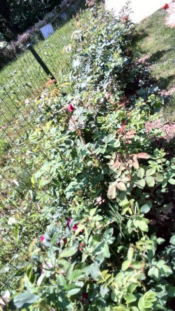 Vrtnice2015 - foto
