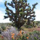 Joshua Tree in cvetoče puščavske rožice