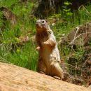 radovedna veverica