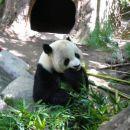 San Diego Zoo, panda