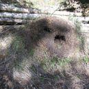 mravljišče s sledovi ropa