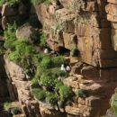 gnezda na skalnih policah