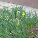 Narcise že cvetijo.