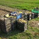 Seme krompirja