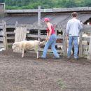 Pred preiskusom je bilo potrebno presortirati ovce v skupine po tri.