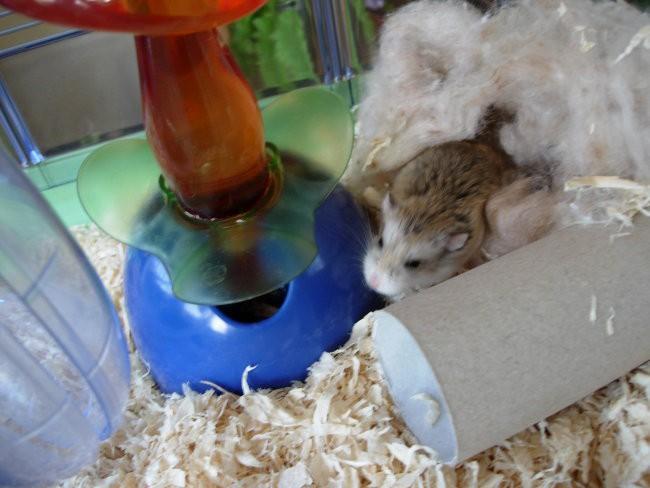 Hrčki-roborovski mladiči, 14dni - foto povečava