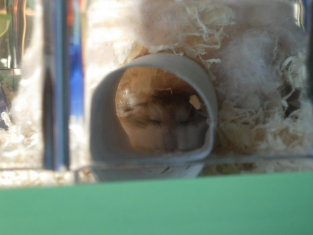 Hrčki-roborovski mladiči, 14dni - foto