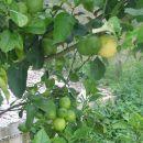 V vasici Sagiadha 500 m od Albanske meje je veliko limon. Pobiraš jih lahko tudi po cesti