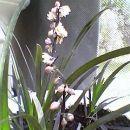 črna trava cveti celo poletje