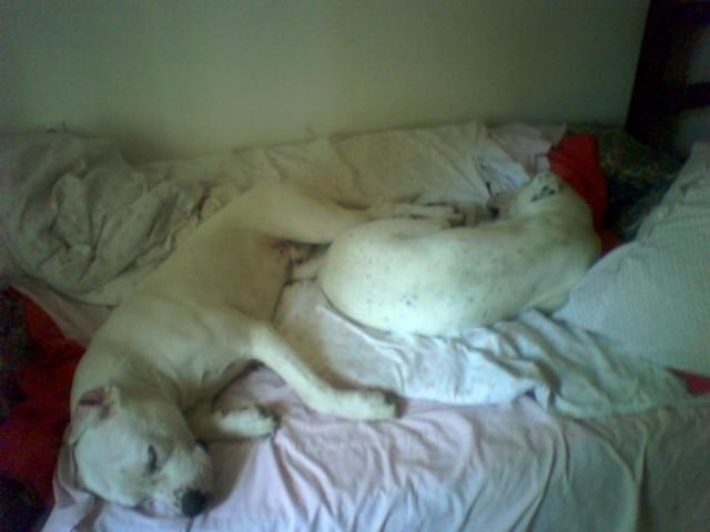 Dogos - foto