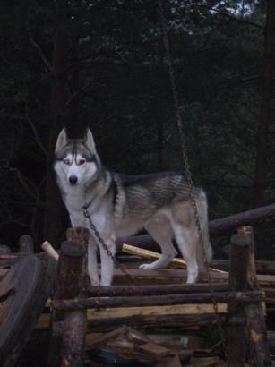 Sibirian Husky - foto