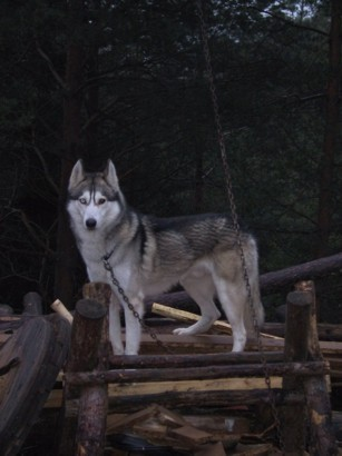 Sibirian Husky - foto povečava