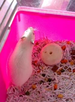 Snežkotova izbranka, ki ji je ime Snežka in je kratkodlaka.