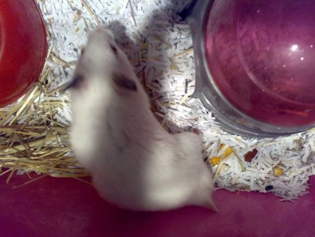 Hamster teddy - Hrček Snežko&Snežka - foto