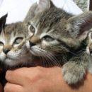 8 tednov stari mačkončki iščejo skrbne lastnike. Dve na levi sta muci, desna dva pa samčka