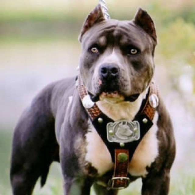 Pit-bull-serious