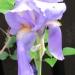perunika z zeleno-belimi listi