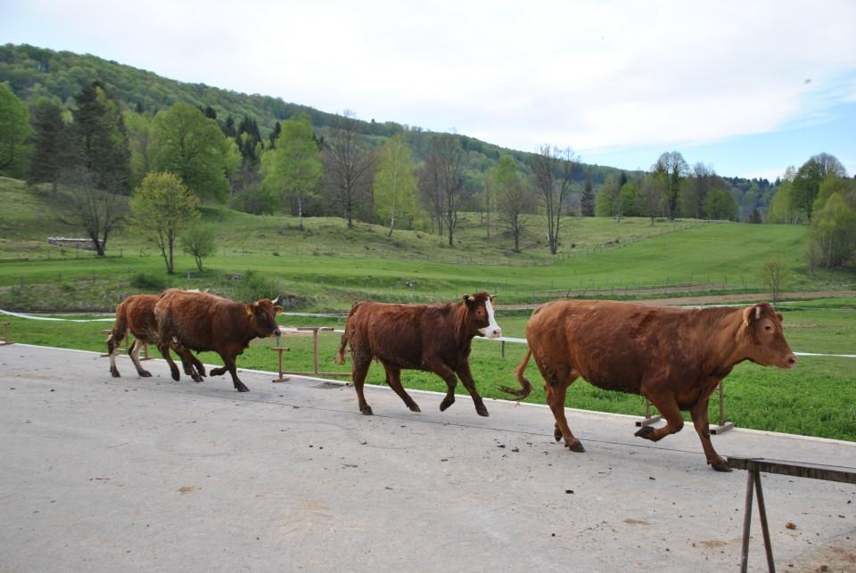Eko kmetija Mlinar, spust živine na pašnik. - foto povečava