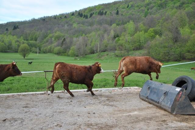 Eko kmetija Mlinar, spust živine na pašnik. - foto