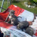 Plavi pit bull  štenci vrhunskog porekla
