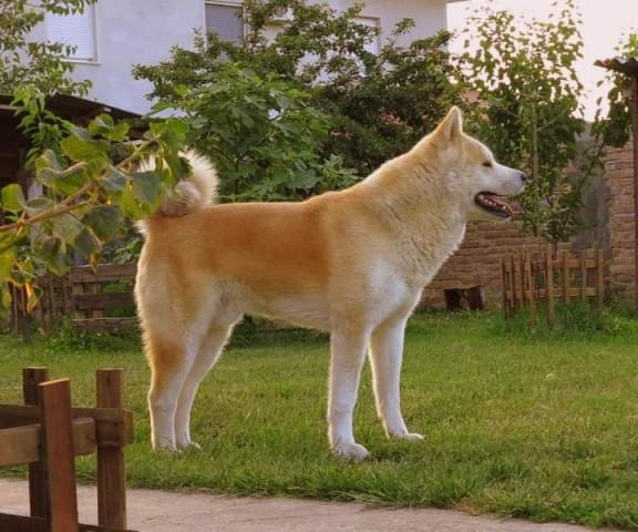 Akita Inu štenci izložbenog potencijala - foto