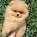 Pomeranac Boo čistokrvno štene