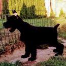 Veliki Šnaucer štenad