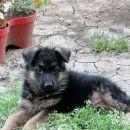 Nemački ovčar, vrhunska štenad