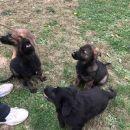Nemački ovčar gvozdeno sivi i crni štenci
