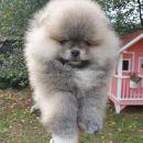 Pomeranac Boo medvedić, prelepo štene