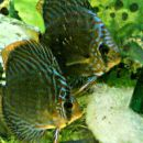 Mladice nekaj dni stare para:  Samica red turkizXcobalt blue Samec: rjaviXred turkiz