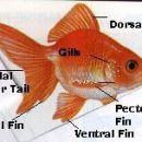 zlate ribe