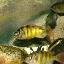 Haplochromis  sp44