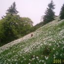 Narcise - pot na Belsko planino
