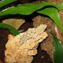 Krokodilji gekon