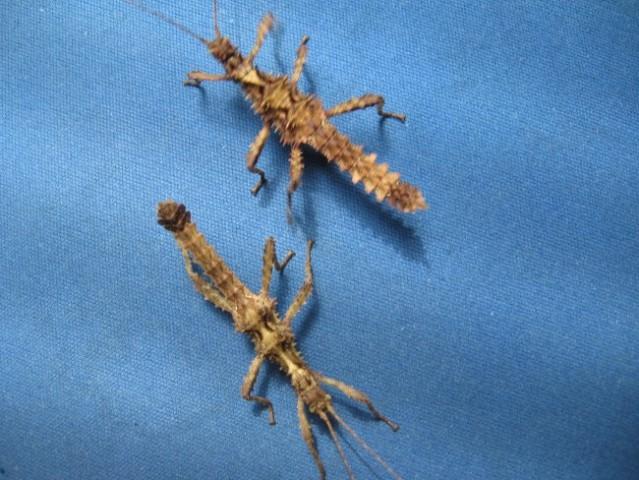 Samček in samička Aretaon asperrimus