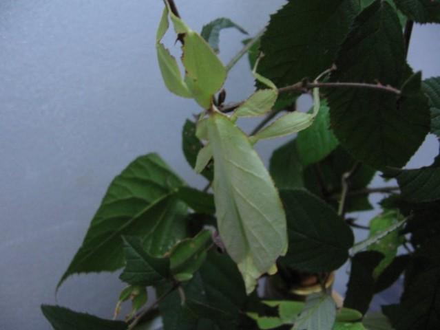 Odrasla samička Ph.celebicum