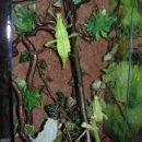 H.dilatata samička subadult