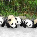 Prileže se en dober izlet. Odrasla panda je prava ućiteljica.