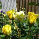 Marijine vrtnice