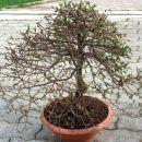 bonsaji