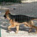 NERA-nemška ovčarka