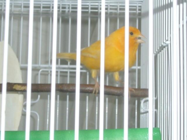 Kanarček  sonček - foto