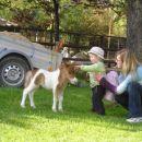 konjiček-mladič mini šentland konja
