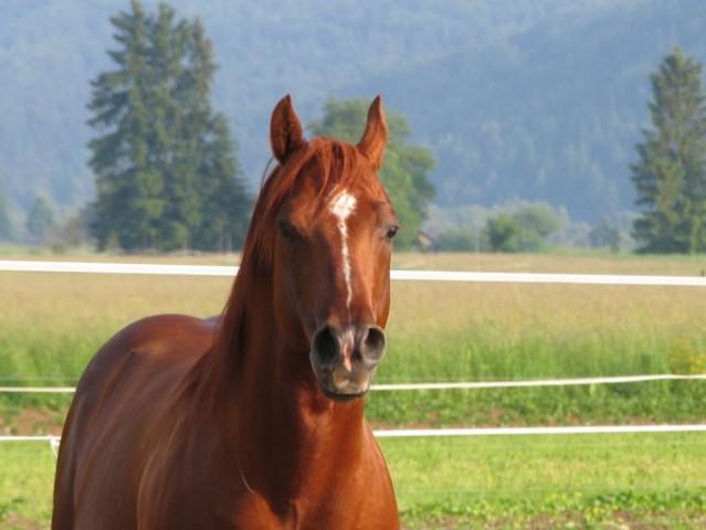 TABAS COUNTRY Plemenski žrebec pasme Quarter horse