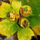 Pa še ene vrtnice iz javorjevih listov.