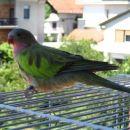 Princess papiga Koki se je žal pred kakšnim mesecem izgubila :( In nisem je našla :((