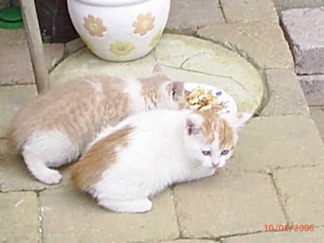 Tešanovska deca oz. mačke